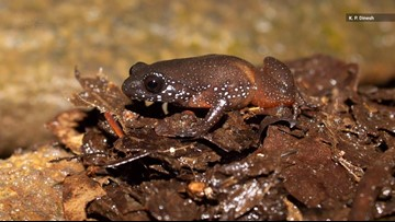 Newly-Discovered Starry Dwarf Frog is the Size of a Thumbnail