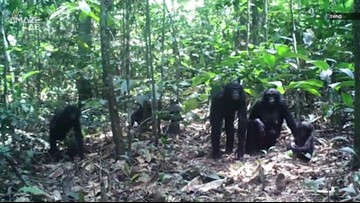Watch How These Apes React to Cameras in Their Jungle