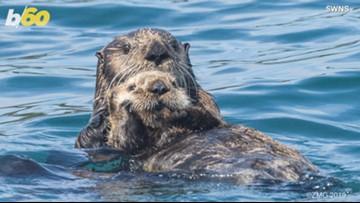 2edda136c Swimming Otters Put on Show   9news.com
