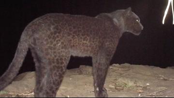 Rare 'black panthers' captured on camera in Kenya