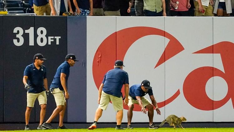 Stray cat runs around Yankee Stadium, delays game