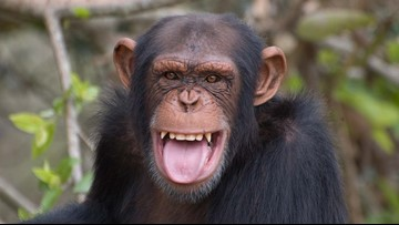 This chimpanzee correctly using Instagram will blow your mind