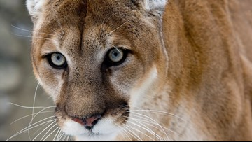 Social media posts helped  authorities track Yellowstone mountain lion poachers