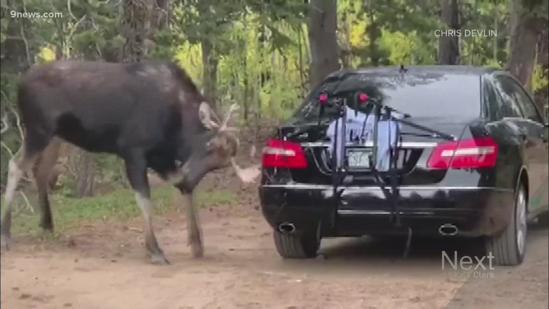 Moose Attacks Car Parked Near Trailhead In Boulder County 9news Com
