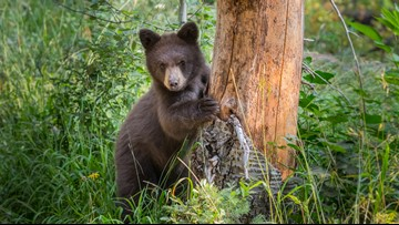 Wildlife officers euthanize 2 bears in Boulder County