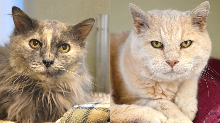 Petline 9: Senior cats Grizz and Spider need a forever home