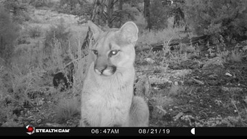 More mountain lions spotted after 2 were euthanized following Bailey boy's attack