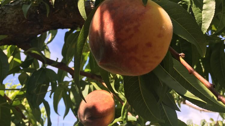 Early season peach on tree