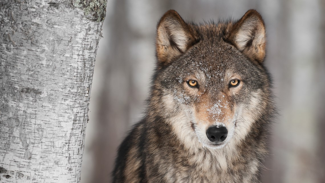 Colorado debate over gray wolf reintroduction plan
