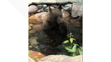 Backyard pond in Genesee offers bear relief from the heat