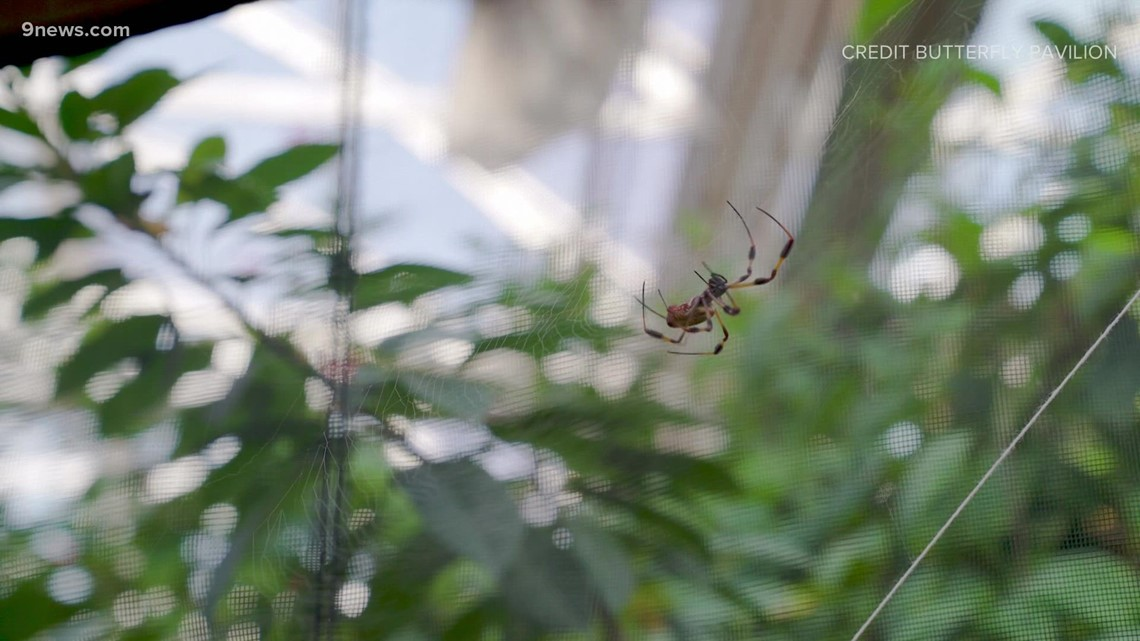 50 orb-weaver spiders on display at Butterfly Pavilion