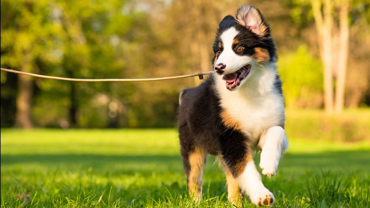 dog walking running Happy Aussie dog runs on meadow with green grass in summer or spring. Beautiful Australian shepherd puppy 3 months old running towards camera. Cute dog enjoy playing at park outdoors.