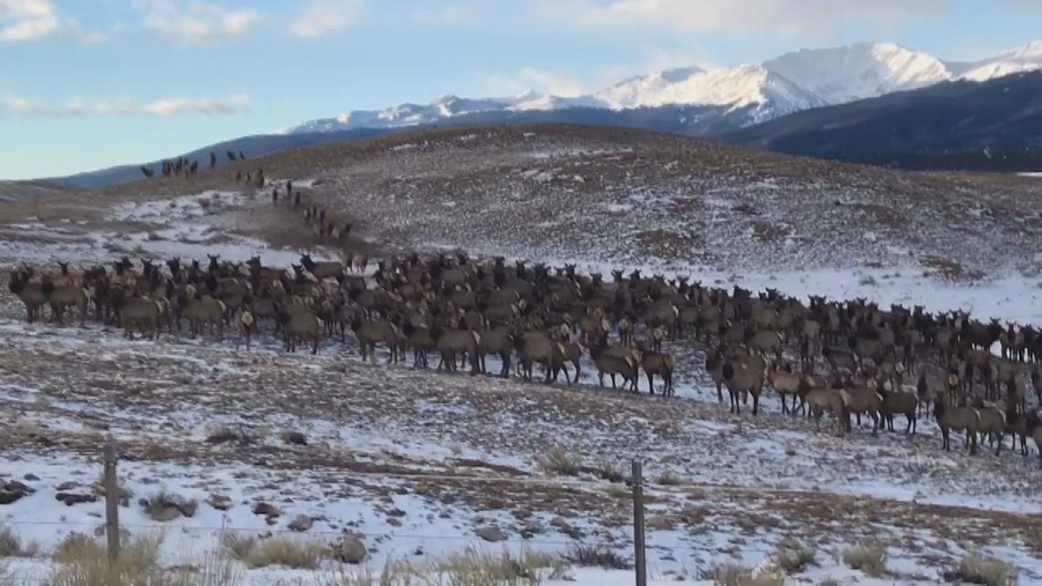 WATCH: Large elk herd spotted in snow near Leadville