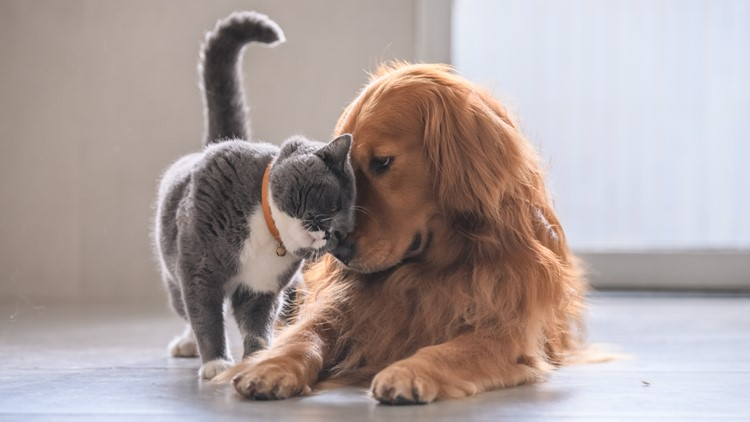 British short hair cat and golden retriever CAT AND DOG PETS