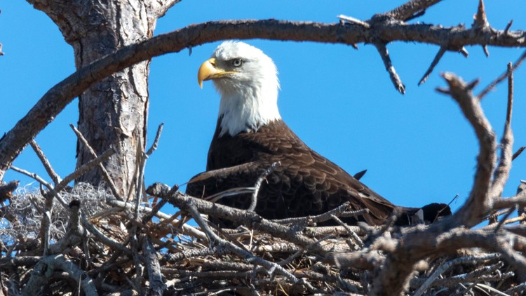 Bald Eagle on a nest  GETTY