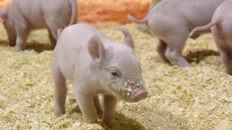 National Western Stock Show baby pig piglet