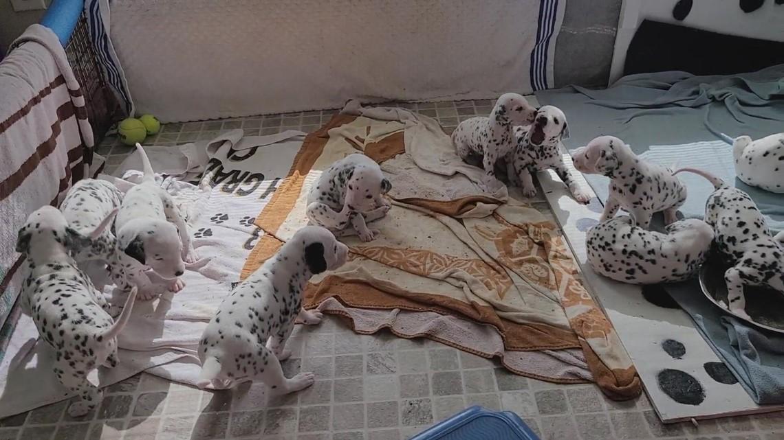 13 3 week old Dalmatians at play