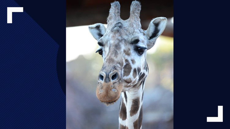 Cheyenne Moutain Zoo mourns loss of oldest giraffe in North America