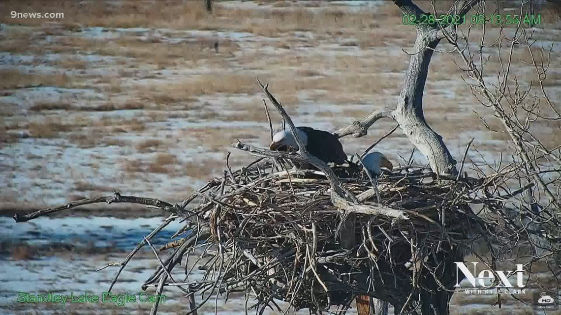 Nest-wrecking Standley Lake eagle now a mother of 2 (and the father is the man she stole)