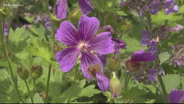 Proctor's Garden: June bloomers bust out