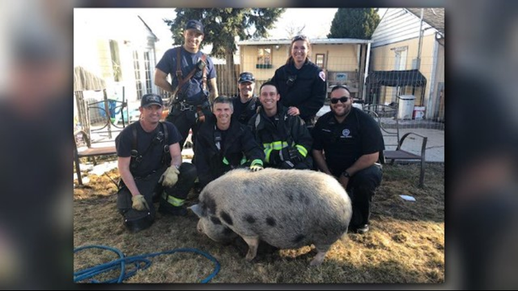 Pot-bellied pig rescued from Aurora window well