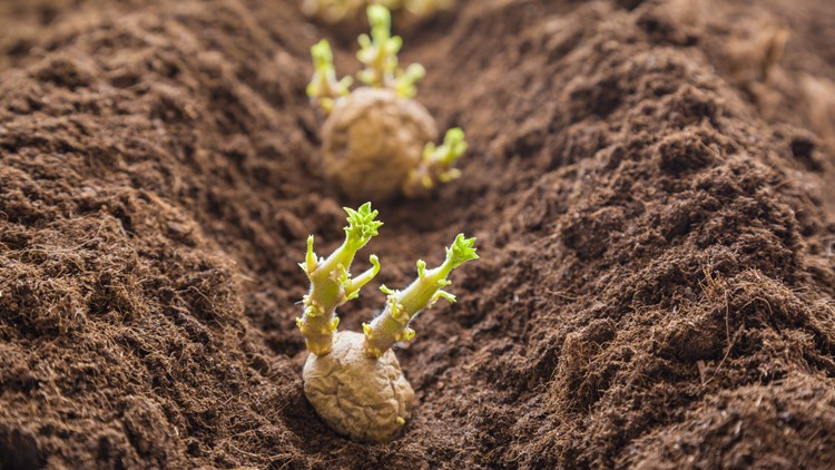 Proctor's Garden: St. Patrick's Day greenlights Colorado gardening season