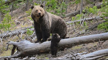 Group wants grizzly bears restored to Colorado, 6 other states