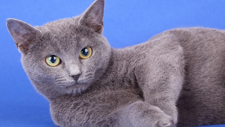 Studio shot of an russian blue cat, kitty standing on blue, clouds background.