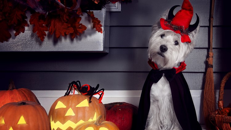 Funny west highland white terrier dog in scary Halloween costume
