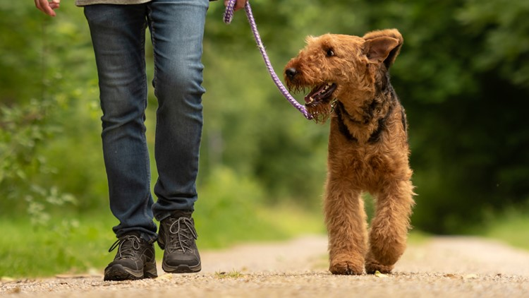 Airedale Terrier. Dog handler is walking with his obedient dog on a rural street in a forest walking a dog