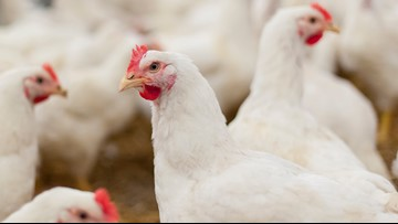 16 cases of Salmonella reported in Colorado after backyard poultry outbreak