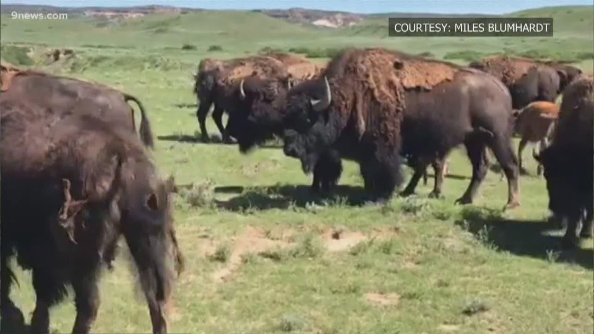 Denver donates 14 bison to tribal nations