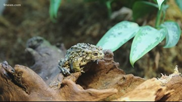 Denver Zoo releases more than 620 endangered boreal toads into their native range