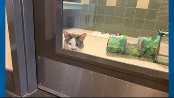 Denver cat proves to be just as naughty as Quilty the viral cat