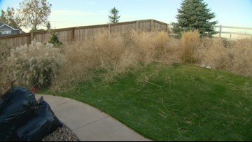Holy tumbleweeds! Aurora woman's yard is overwhelmed with the vegetation