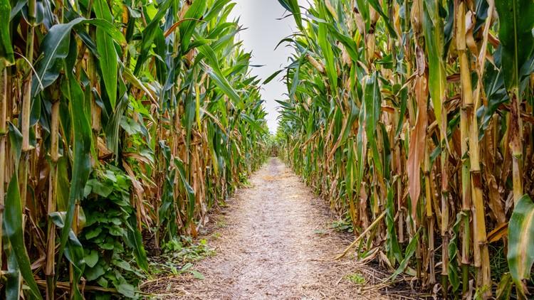 A corn maze or maize maze is a maze cut out of a corn field.