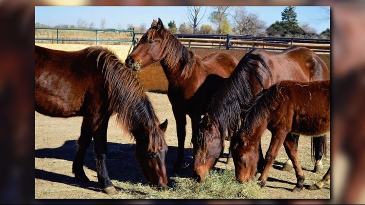 'Diamonds in the rough': Rescued horses train as therapy animals at CSU equine center