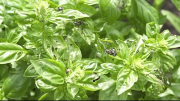 Spangler Science: Here are a few tricks to catch those pesky Japanese beetles