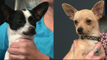 Adorable Chihuahuas Dante and Milo need forever homes and that's where you come in