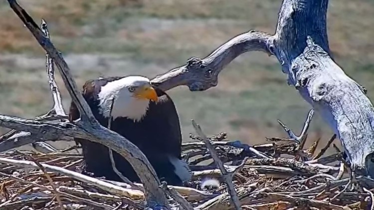 Nest-wrecking Standley Lake eagle now a mother (and the father is the man she stole)