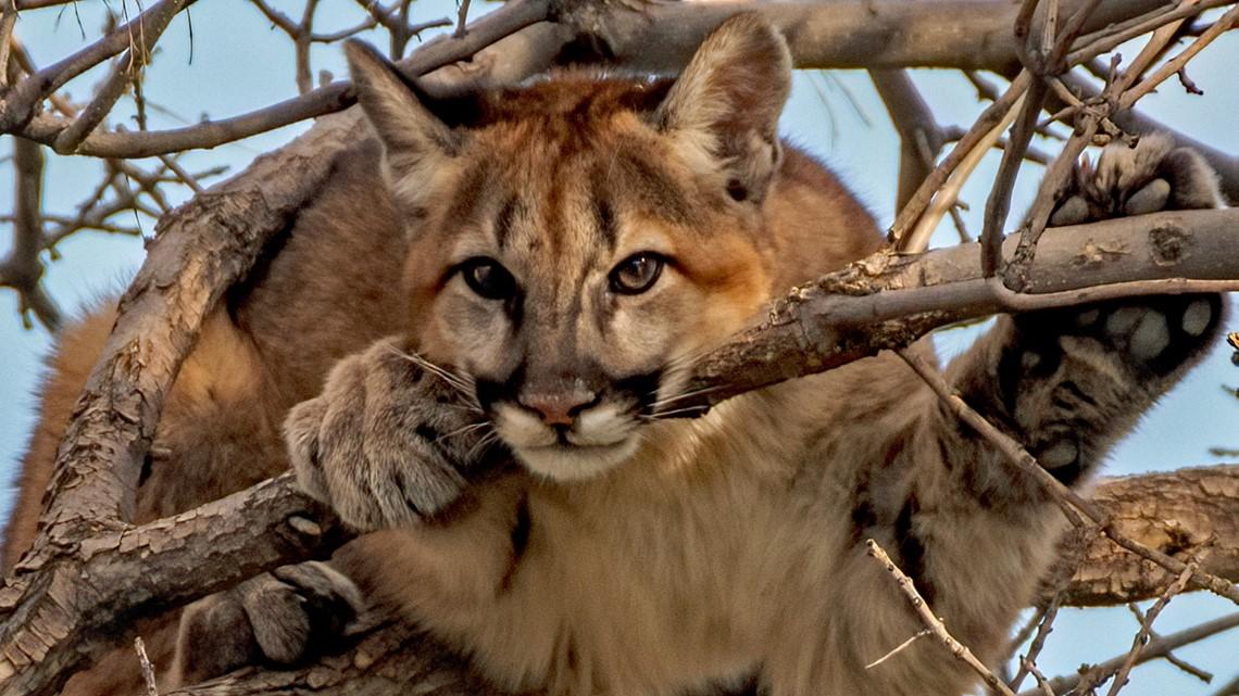 We asked for safety advice from expert who captured 300 mountain lions. Here's what he said.