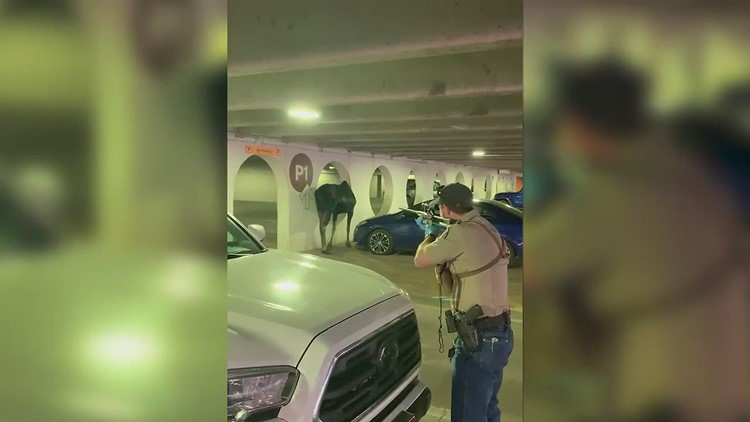 Bull moose relocated from Vail parking garage