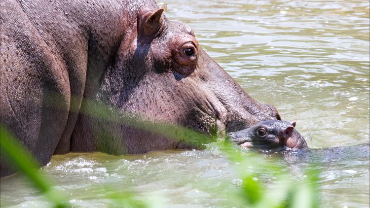 First photos of Colorado's new baby hippo are here