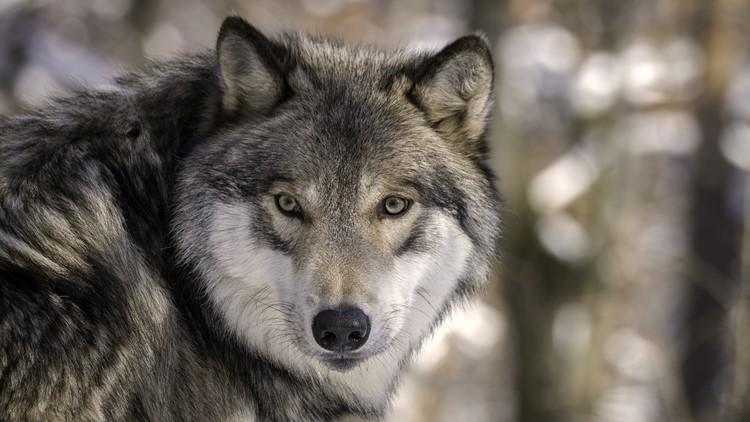 Colorado wildlife officials discuss gray wolf reintroduction plan