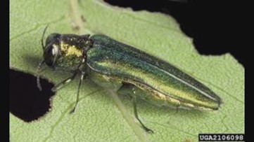 First Colorado case of emerald ash borer outside of quarantine confirmed
