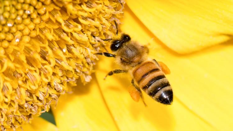 Honey bee flying to sunflower
