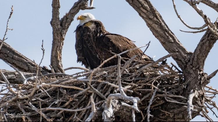 Widowed eagle's new beau