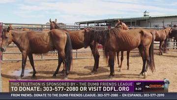 Horse rescue in Colorado
