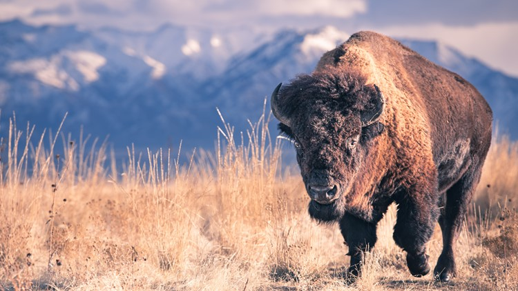 Denver donates 14 bison to tribal nations