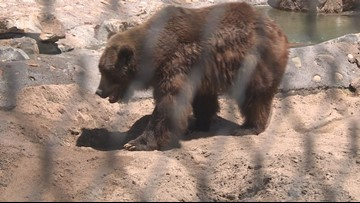 Denver Zoo grizzly bear dies due to health issues